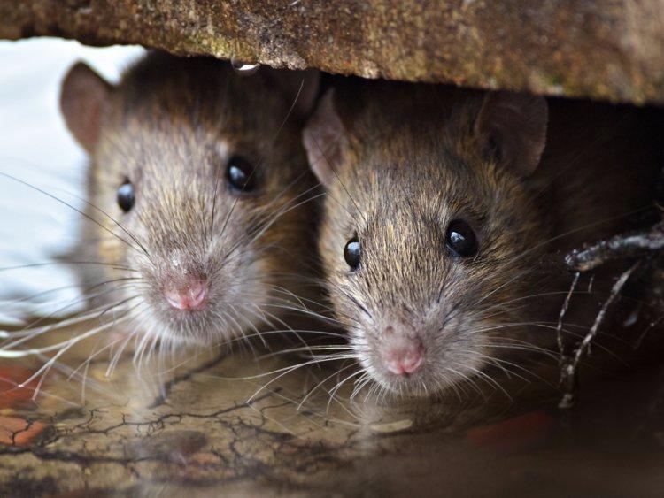 主要的帶原動物為鼠類